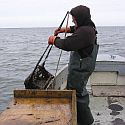 A bayman hauling in a scallop dredge.