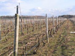 A grape vine trellis