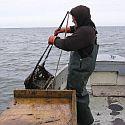 A bayman hauling in a scallop dredge.