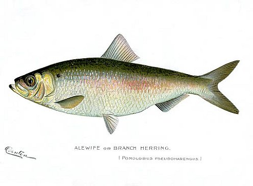 Color print of an Alewife