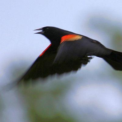 A Red Winged Blackbird and his very sharp beak